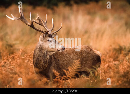 Red Deer stag, (Cervus elaphus), amongst bracken, Richmond Park, London, United Kingdom, UK - Stock Image