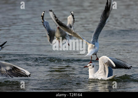 Black headed gulls (Chroicocephalus ridibundus) diving into water - Stock Image