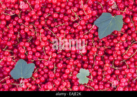Fresh red currants, natural fruits background - Stock Image