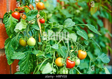 Tomatoes ripening against a brick wall - Stock Image