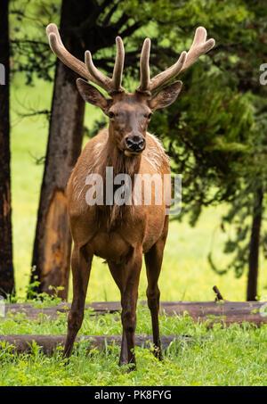 Elk with Growing Antlers Looks Toward Camera in field - Stock Image