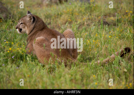 mountain lion lying in a field - Stock Image