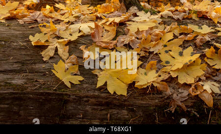 Big yellow Maple, Acer macrophyllum leaves on a log with leaf spots at Calaveras Big Trees State Park in California, USA- large autumn background and  - Stock Image