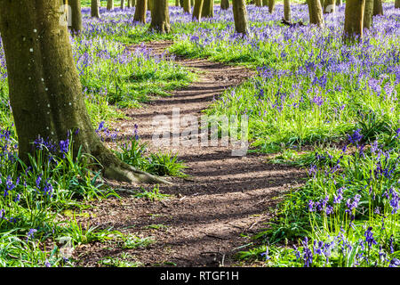 Bluebell Woods in the early morning sun. - Stock Image