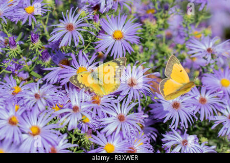 Orange Sulphur (Colias Eurytheme) male and female on Frikart's Aster (Aster frikartii) Marion County, Illinois - Stock Image
