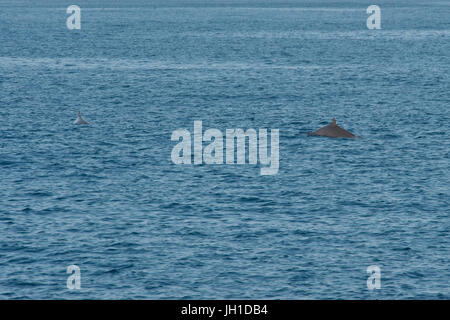 Male and female Blainville's beaked whales, Mesoplodon densirostris, or the dense-beaked whales, surfacing, - Stock Image