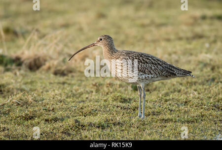 Curlew - Numenius arquata - on grassland searching for food - Stock Image