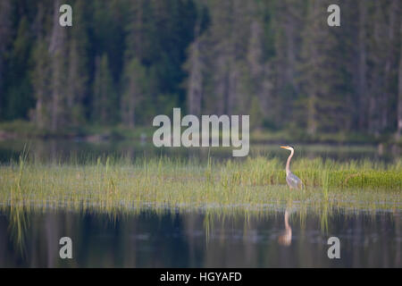 A great blue heron, Ardea herodias, on East Inlet in Pittsburg, New Hampshire. - Stock Image