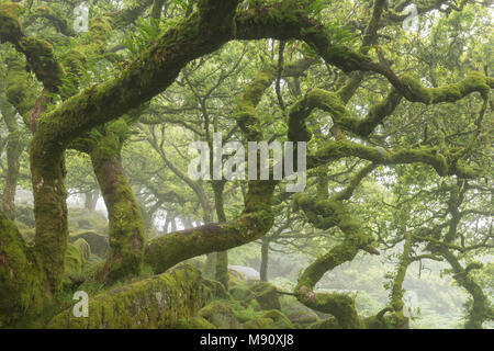 Gnarled and twisted moss covered oak trees in Wistman's Wood SSSI, Dartmoor National Park, Devon, England. Summer (July) 2017. - Stock Image