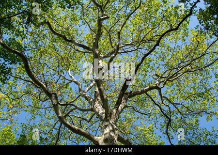 Nature background with big green platanus tree and blue sky, up view - Stock Image