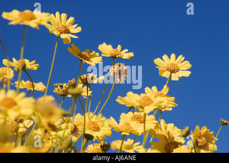 Yellow brittle bush (Encelia farinosa) wildflowers at Death Valley National Park California USA - Stock Image