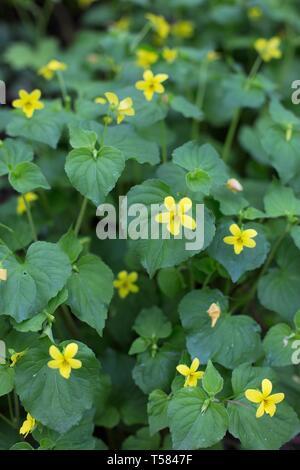 Stream violets - viola glabella - in Hendricks park in Eugene, Oregon, USA. - Stock Image
