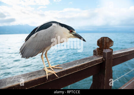 A Black-crowned Night-Heron sitting on a pier mooring in Ilhabela, Brazil - Stock Image