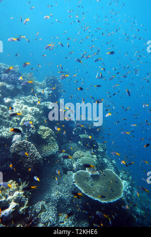 Damselfish with healthy staghorn and plate Acropora corals, Moore Reef, Great Barrier Reef, Queensland, Australia - Stock Image