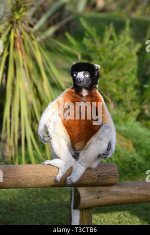 A crowned sifaka from Madagascar at Cotswold Wildlife Park, Burford, Oxfordshire, UK - Stock Image