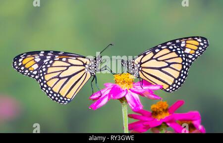 Monarch butterfly Danaus plexippus pair feeding on a zinnia flower - side view - Stock Image