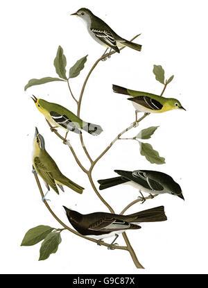 1 Small-headed Flycatcher, Mystery birds, existence unclear, Muscicapa minuta, Small-headed Flycatcher, 2 Western - Stock Image