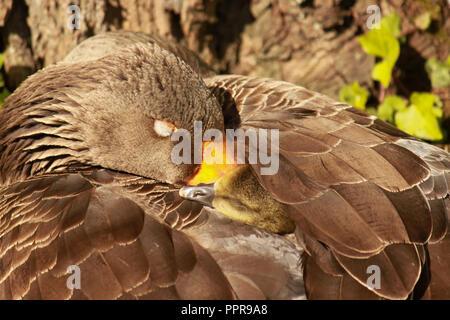 Gosling sleeping under greylag goose's wing, in the sunshine. Anser anser - Stock Image