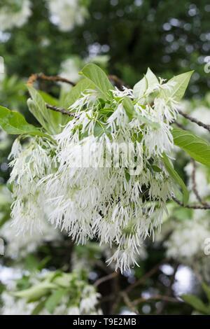 White Fringetree - Chionanthus virginicus - at the Owen Rose Garden in Eugene, Oregon, USA. - Stock Image