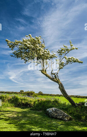 Mountain Ash Tree and White Blossom Presceli Mountains Pembrokeshire - Stock Image