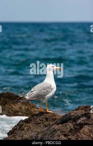 adult Yellow-Legged Gull,(Larus cachinnans michahellis), also known as Yelllow Western Gull, summer, Ibiza, Balearic Islands, Mediterranean Sea,Spain - Stock Image