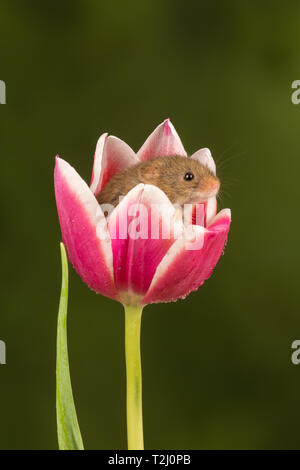 Harvest mouse (Micromys minutus), a small mammal or rodent species, peeping out of a pink and white tulip flower. Cute animals. - Stock Image