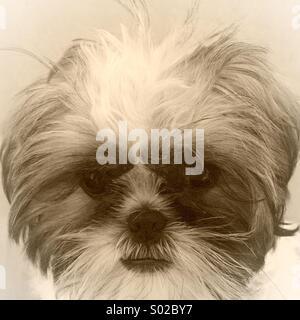 Shih Tzu puppy - Stock Image