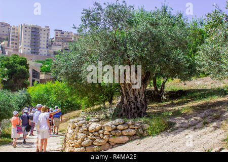 Tourists examine an ancient Olive Tree on a terrace in Nazareth Village Israel in the open air museum of Nazareth Village Israel. This site provides a - Stock Image