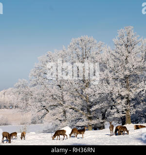 Deer grazing near frosted trees - Stock Image