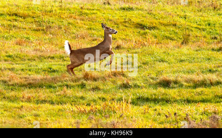 A white-tailed deer in mid-flight with tail in alarm posture near Sussex, Kings County, New Brunswick, Canada. - Stock Image