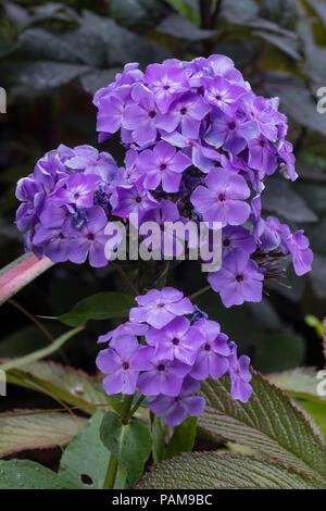 Violet flowers of the summer blooming, compact,slightly fragrant perennial, Phlox paniculata Flame 'Violet' - Stock Image