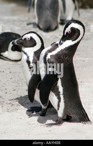 SA simon s town boulders beach jackass penguin colony couple - Stock Image