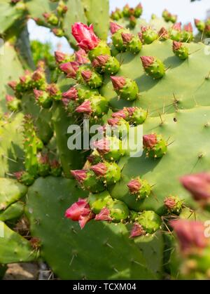 Opuntia, commonly called prickly pear, - Stock Image