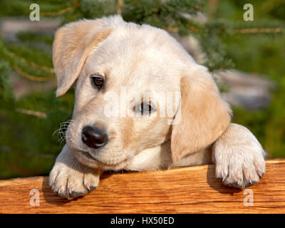 Cute Yellow Labrador Retriever puppy looking from behind a wood board. - Stock Image
