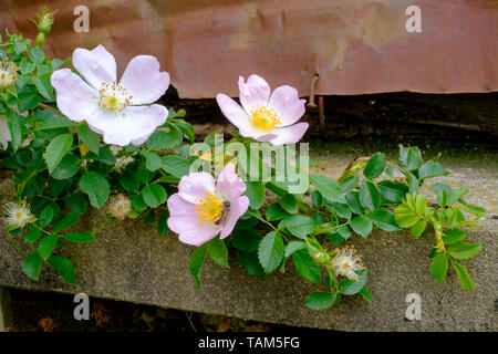 dog rose rosa canina flowers bloom on the shrub in a rural garden zala county hungary - Stock Image