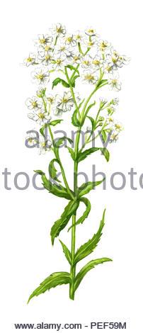 swamp-yarrow achillea ptarmica - Stock Image