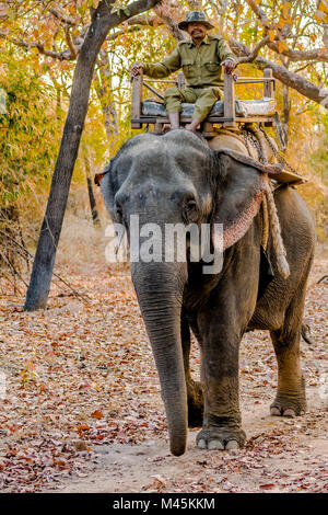 Park ranger riding an Asian Elephant guarding against poaching in Bandhavgarh National Park, Madhya Pradesh, India - Stock Image