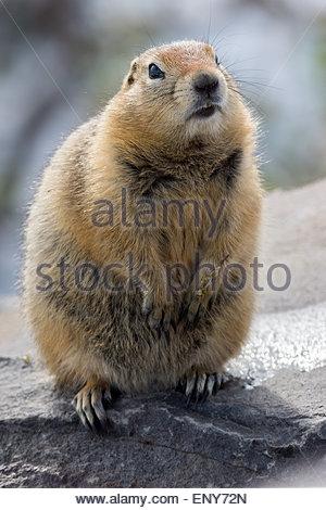 Arctic ground squirrel (Spermophilus parryii) in Denali national Park - Alaska - Stock Image