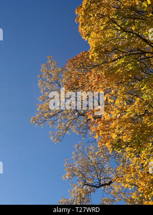 Vertical autumn colors mood on a sunny day, golden leaves looking up to a blue sky, Oslo Norway - Stock Image