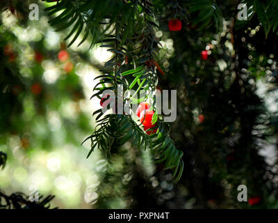 Yew tree berries - Taxus baccata backlit by the October sun - Stock Image
