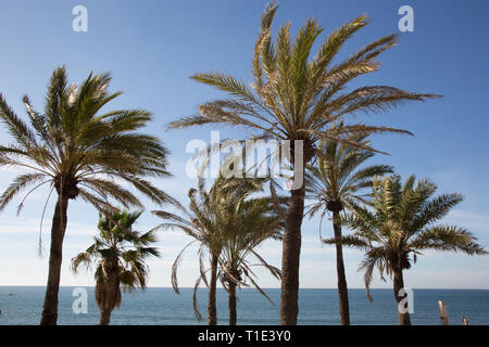 Palm tree tops on the beach at Benalmadena, Costa del sol, Spain. - Stock Image