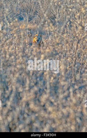 Male African Lion, Panthera leo, hidden in thorny underbrush, Etosha National Park, Namibia, West Africa - Stock Image