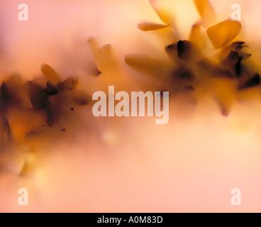 photogram of Forsythia flowers - Stock Image