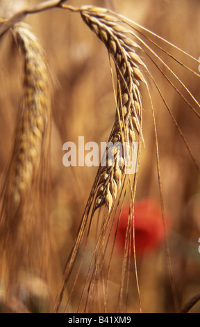 Close up of head of ripe barley - Stock Image