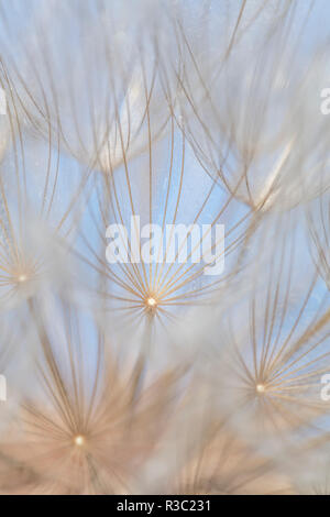 Canada, British Columbia. Yellow salsify flower seeds close-up. - Stock Image