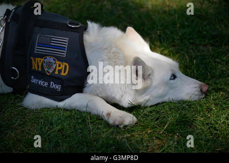 Westbury, New York, USA. June 12, 2016. MISKA, a Service Dog trained to help American veterans, attends Antique - Stock Image