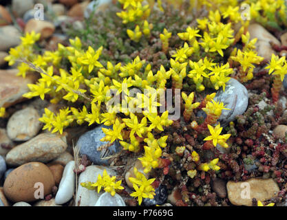The yellow flowers and green succulent stems of biting stonecrop or wallpepper (Sedum acre) growing on pebbles behind the beach of Rye Bay. Rye Harbou - Stock Image