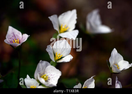 trillium rivale,trilliums,pink,shade,shaded,shady,wood,woodland,flower,flowers,spring,rm floral - Stock Image