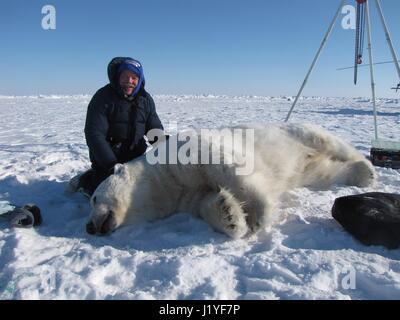 Riley Wilson, veterinarian with the Alaska Zoo examines a sedated polar bear during the annual polar bear study - Stock Image