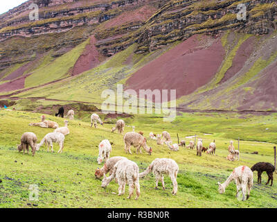 View of a group of llamas and vicuñas seen in the way to the Rainbox Mountain, Vinicunca - Stock Image